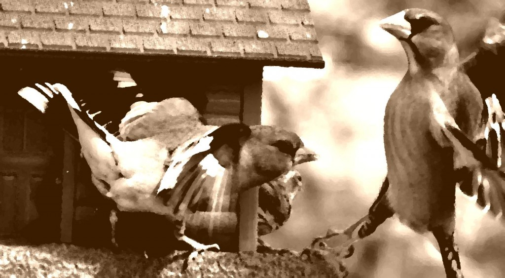 fighting-bird-pic-1